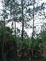 Pinus hondurensis, Sabal sp, Belize 3.jpg