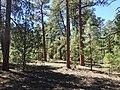 Pinus ponderosa subsp. brachyptera kz02.jpg