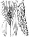 Pinus strobus drawing.png