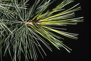 Eastern White Pine. Branch.