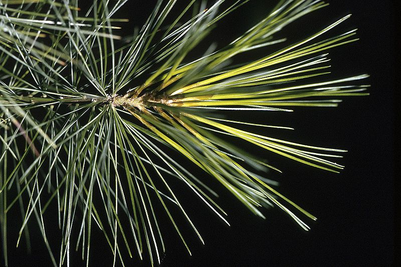 File:Pinus strobus needles.jpg