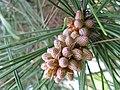Pinus thunbergii3.jpg
