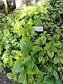Piper guahamense - Guam Zoological, Botanical and Marine Garden - DSC01061.JPG