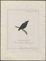Pipra leucocilla - 1700-1880 - Print - Iconographia Zoologica - Special Collections University of Amsterdam - UBA01 IZ16600203.tif