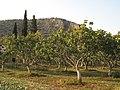 Pistachio trees - panoramio.jpg