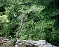 Pitch Pine at Pinnacle Rock 7.jpg