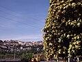 Pittosporo a Monte San Biagio.JPG