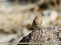 Plain Mountain Finch (Leucosticte nemoricola) (28311124207).jpg