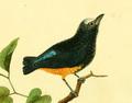 Planches enluminées d'histoire naturelle (1765) - Lepidothrix serena (cropped).png