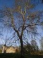 Platane commun 1 (Parc du château de Dongelberg).jpg