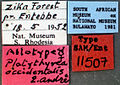 Platythyrea occidentalis sam-ent-0011507 label 1.jpg