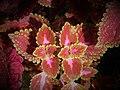 Plectranthus scutellarioides ( Lamiaceae).jpg