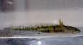 Pleurodeles larves 3 cropped.png