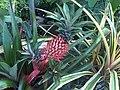 Poales - Ananas comosus - 2.jpg