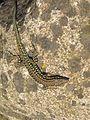 Podarcis tiliguerta, Tyrrhenian Wall lizard, (corsica).jpg