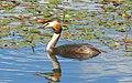 Podiceps cristatus Чомга отражение.jpg