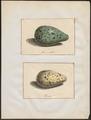 Podiceps nigricollis - 1700-1880 - Print - Iconographia Zoologica - Special Collections University of Amsterdam - UBA01 IZ17800001.tif