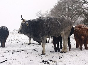 Podolica - A Podolica cow in winter