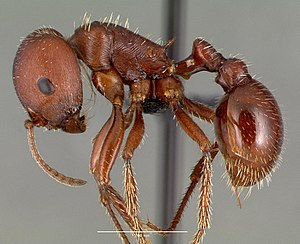 Red harvester ant - P. barbatus worker from Texas, United States