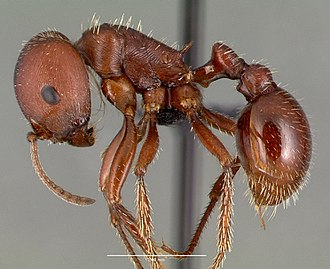 Pogonomyrmex - P. barbatus worker