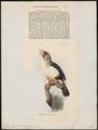 Pogonorhynchus eogaster - 1876 - Print - Iconographia Zoologica - Special Collections University of Amsterdam - UBA01 IZ18800019.tif