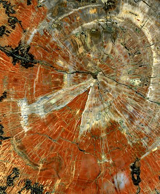 Petrified wood - The image shows the center of a polished slice of a petrified tree from the Late Triassic Epoch (approximately 230 million years ago) found in Arizona. The remains of insects can be detected in an enlarged image.