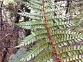 Polystichum vestitum Governors Bush Walk Mount Cook 3.JPG