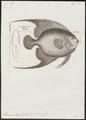 Pomacanthus paru - 1700-1880 - Print - Iconographia Zoologica - Special Collections University of Amsterdam - UBA01 IZ13100253.tif