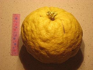 Ponderosa lemon citrus species