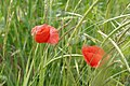 Poppy flower, Torcello, Italy.jpg