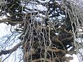Port Gamble, WA - Camperdown Elm - detail of trunk, branch structure.jpg