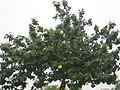 Portia Tree - പൂവരശ്ശ് 04.JPG