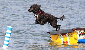 A Portuguese water dog competes during a water...