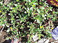 Portulaca oleracea-4-xavier cottage-yercaud-salem-India.JPG