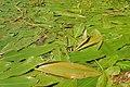 Potamogeton nodosus kz12.jpg