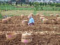 Potato harvest and farmer Dieng Plateau.jpg