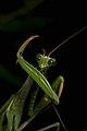 Praying Mantis Male European-18.jpg