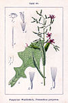 Prenanthes purpurea Sturm43.jpg