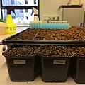Preparation for Arabidopsis thaliana seed sowing.jpg