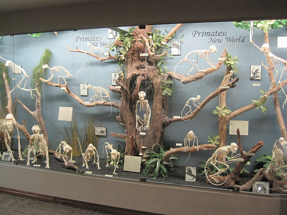 Primate exhibit museum of osteology