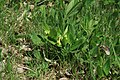 Primula veris in natural monument Kalamandra in spring 2012 (1).JPG