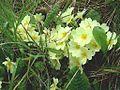 Primula vulgaris in Slowenien.JPG
