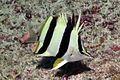 Prognathodes basabei 2.jpg