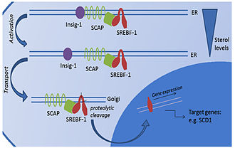 Adipocyte - Proteolytic activation of SREBF-controlled lipid biosynthesis.