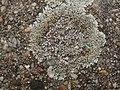 Protoparmeliopsis muralis 125106742.jpg