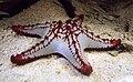 Protoreaster lincki in UShaka Sea World 1063.jpg