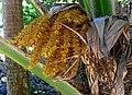 Prritchardia martii (5250171924).jpg