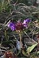 Prunella vulgaris - img 24182.jpg