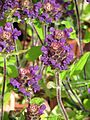 Prunella vulgaris lanceolata dark purple (9341616351).jpg
