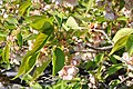 Prunus Sato-Zakura 'Shirotae' in the Jardin des Plantes, Paris 003.JPG